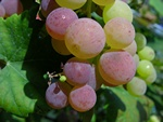 Vitis vinifera (Vanessa)